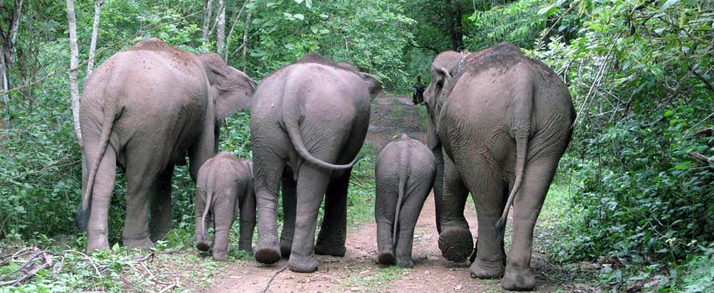 Thai-Elephants